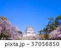 桜 小田原城 春の写真 37056850