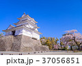 桜 小田原城 春の写真 37056851