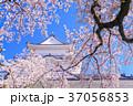 桜 小田原城 春の写真 37056853