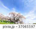 福島_満開の三春滝桜 37065597