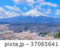 富士山 桜 満開の写真 37065641