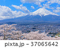 富士山 桜 満開の写真 37065642