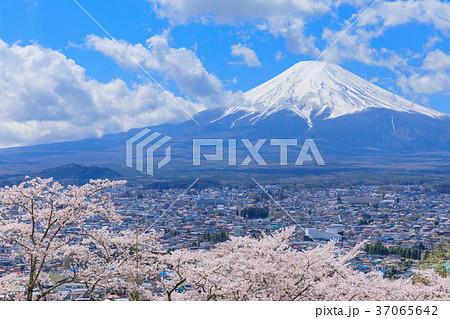山梨_富士山と満開の桜 37065642