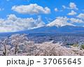 富士山 桜 満開の写真 37065645