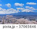 富士山 桜 満開の写真 37065646