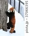 レッサーパンダ シセンレッサーパンダ 札幌円山動物園の写真 37066395