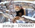 レッサーパンダ シセンレッサーパンダ 札幌円山動物園の写真 37066497