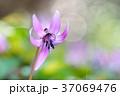 カタクリ 花 春の写真 37069476