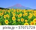 向日葵畑と富士山-777707 37071729