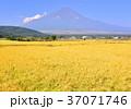富士山 忍野村 稲穂の写真 37071746