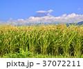 富士山 水田 田んぼの写真 37072211