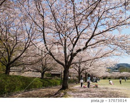 春の昼下がりのお花見 37073014