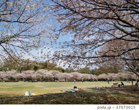 春の昼下がりのお花見 37073015