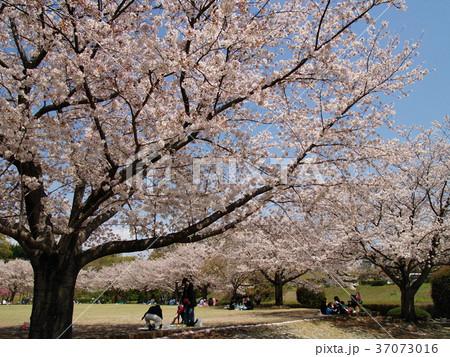 春の昼下がりのお花見 37073016