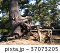 昔の稲毛海岸の松林の黒松の浮き根 37073205