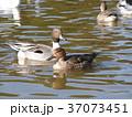 稲毛海浜公園に飛来したユリカモメとオナガガモ 37073451