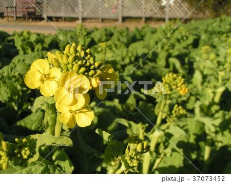 咲き始めた黄色い花はナバナの花 37073452