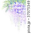 藤 花 植物のイラスト 37075349