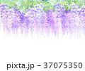 藤 花 植物のイラスト 37075350