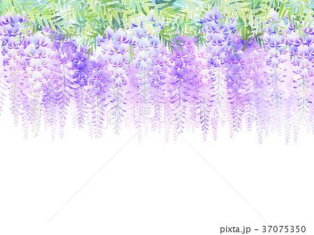 藤の花 37075350