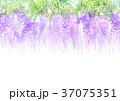 藤 花 植物のイラスト 37075351