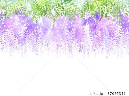 藤の花 37075351