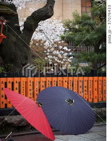 京都府 祇園白川の桜と番傘 37076433