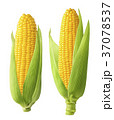 2 fresh corn ears with leaves isolated on white  37078537