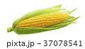 Single ear of corn isolated on white background 37078541