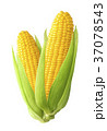 Sweet corn ears isolated on white background 37078543