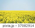 菜の花 菜の花畑 春の写真 37082914