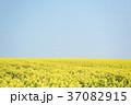 菜の花 菜の花畑 春の写真 37082915
