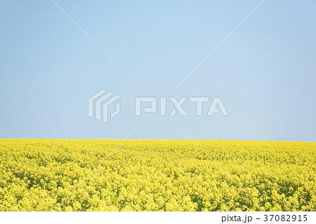 一面の菜の花と青空(背景素材) 37082915
