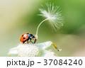 テントウムシ 天道虫 綿毛の写真 37084240