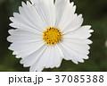 花 コスモス 白色の写真 37085388