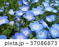 ネモフィラ 花 青の写真 37086873