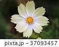 花 コスモス 白色の写真 37093457