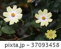 花 コスモス 白色の写真 37093458