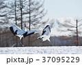 タンチョウ ツル 踊るの写真 37095229