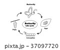 Butterfly life cycle in outline style, vector 37097720