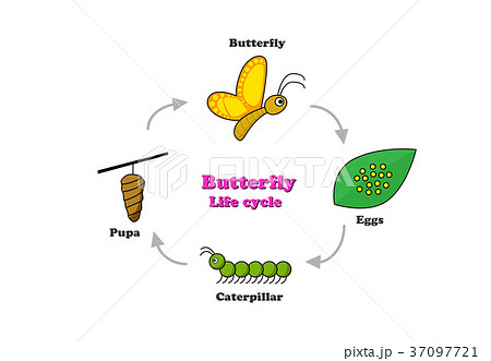 butterfly life cycle in colorful style vectorのイラスト素材