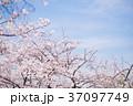 桃色 空 春の写真 37097749