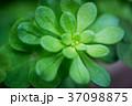 多肉植物 37098875