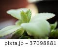 多肉植物 37098881