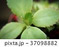 多肉植物 37098882