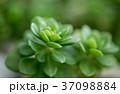 多肉植物 37098884