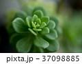 多肉植物 37098885