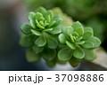 多肉植物 37098886