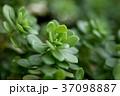 多肉植物 37098887