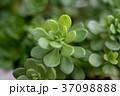 多肉植物 37098888